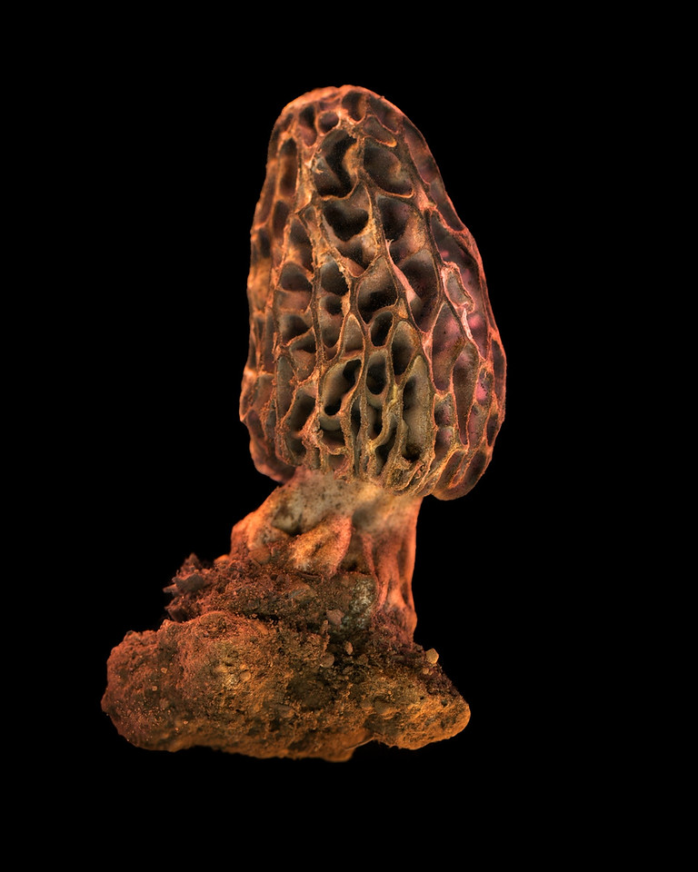Black Morel, Study #17