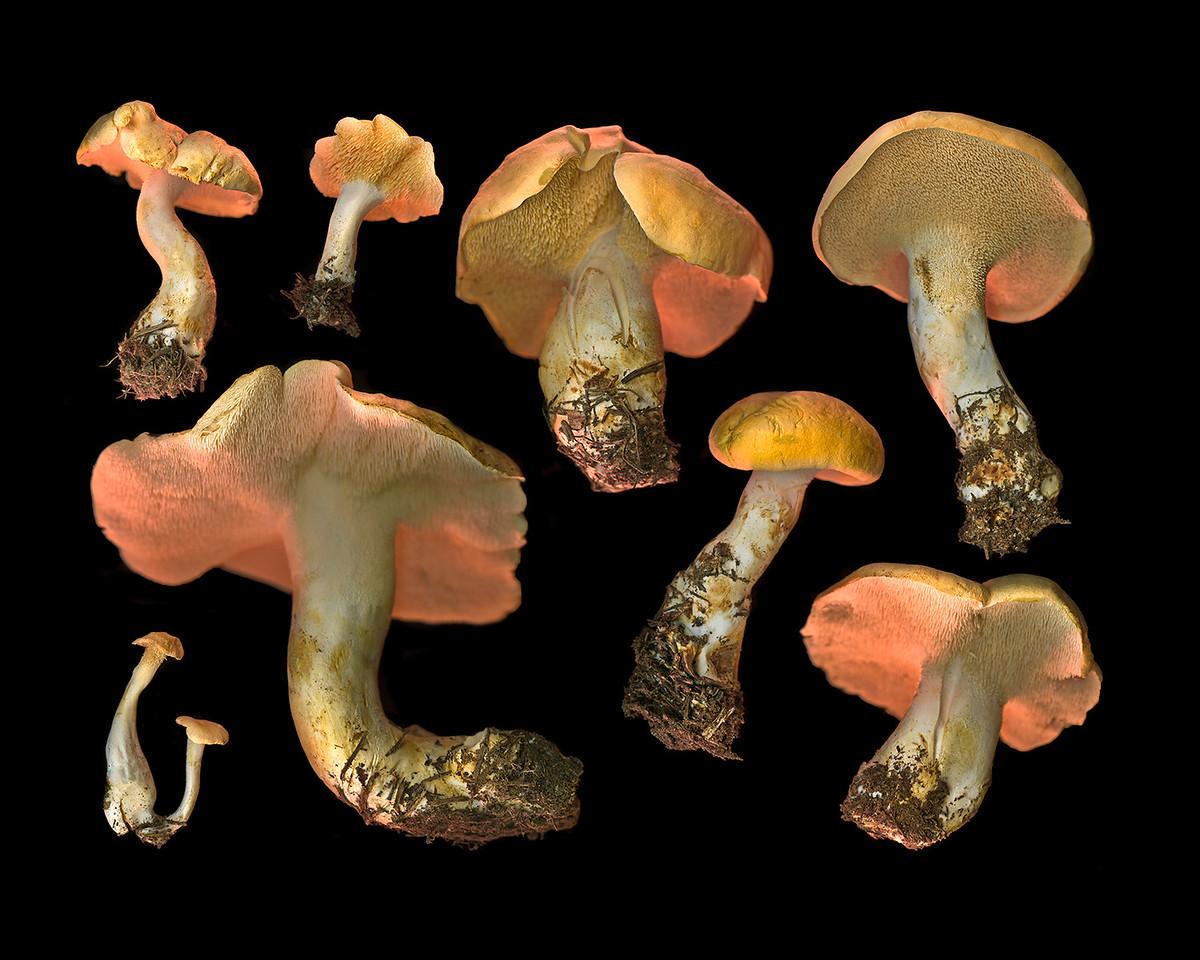 Hedgehog Mushrooms, Study #40