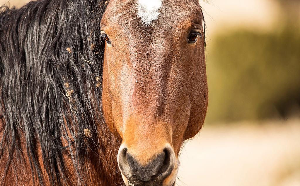 Wild Stallion Placittas
