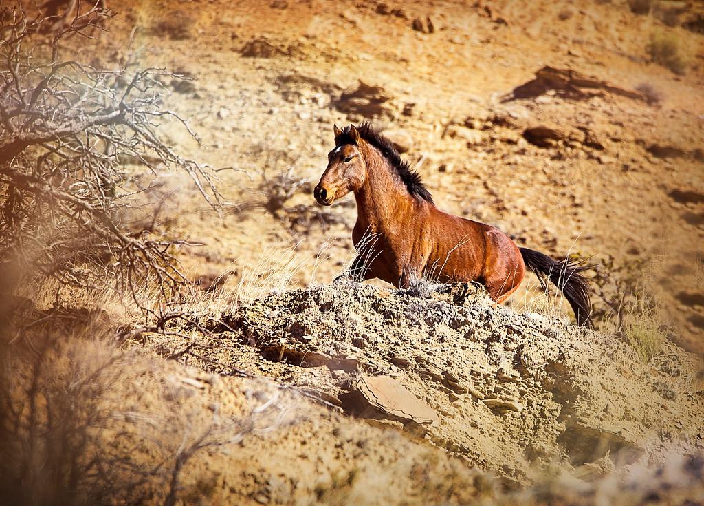 Diamond Tail Wild Mustangs