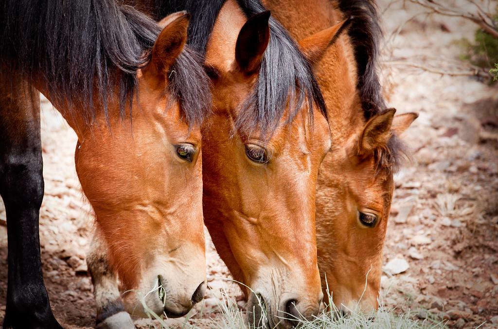 Placittas Wild Mustangs