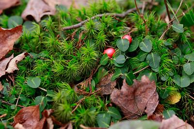 Mitchella repens-Partridgeberry