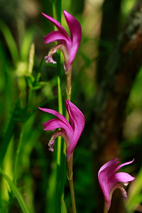 Arethusa bulbosa- Dragon's Mouth