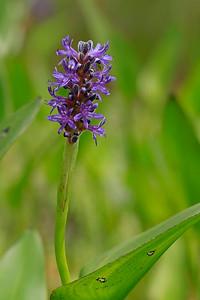 Pontederia cordata- Pickerelweed
