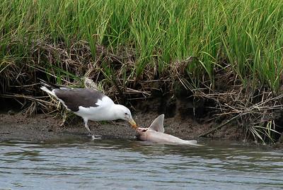 Great Black-backed Gull eating a shark!?