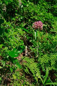 Asclepias rubra- Red Milkweed