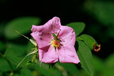 Rosa palustris- Swamp Rose