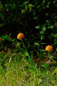 Polygala lutea- Orange Milkwort