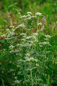 Pycnanthemum setosum- Awned Mountain Mint