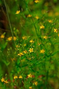 Hypericum canadense- Lesser St. John's Wort