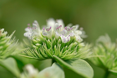 Pycnanthemum setosum- Awned Mountain Mint