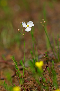 Sagittaria teres- Quill-leaved Arrowhead