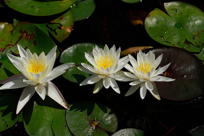 Nymphaea odorata- White Waterlily