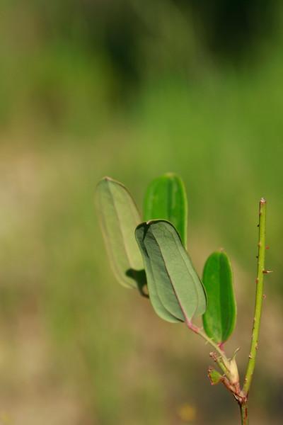 Smilax laurifolia- Laurel-leaf Greenbriar