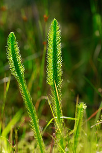 Lycopodium alopecuroides- Foxtail Clubmoss
