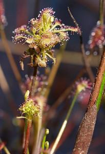 Drosera intermedia- Spatulate-leaved Sundew