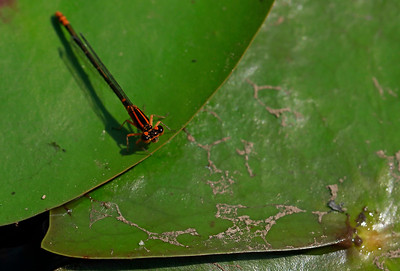 Lilypad Forktail (female)