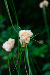 Eriophorum virginicum- Tawny Cotton Grass