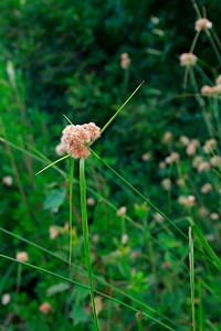 Eriophorum virginicum- Tawny Cotton Grass