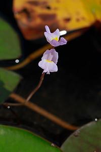 Utricularia purpurea- Purple Bladderwort