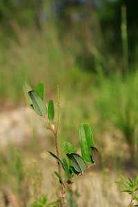 Smilax laurifolia- Laurel-leaf Greenbriar