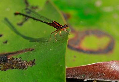 Lilypad Forktail (female)