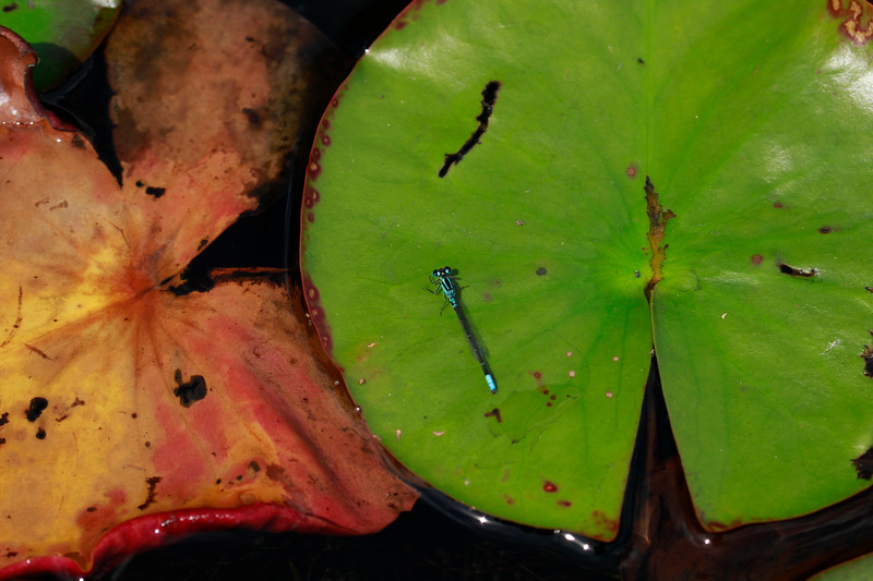 Lilypad Forktail (male)