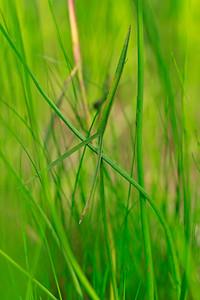 Sagittaria engelmanniana- Engelmann's Arrowhead