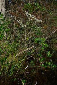 Eryngium aquaticum- Marsh Rattlesnake Master