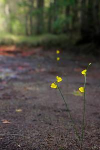 Utricularia juncea- Southern Bladderwort