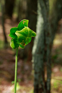 Sarracenia purpurea- Northern Pitcher Plant