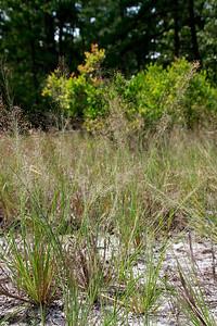 Muhlenbergia torreyana- Pine Barrens Smokegrass