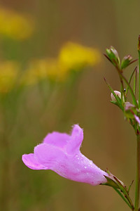 Gerardia purpurea- Purple Gerardia