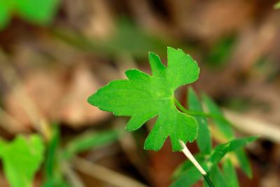 Viola brittoniana- Coast Violet