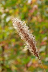 Saccharum giganteum- Sugarcane Plumegrass