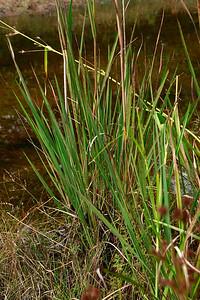 Saccharum giganteum- Sugarcane Plume Grass