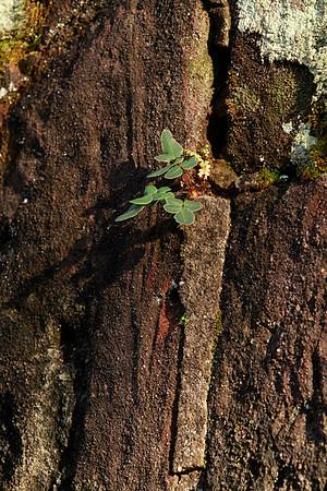 Pellaea atropurpurea- Purple Cliffbrake