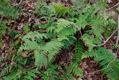 Dryopteris intermedia- Intermediate Wood Fern