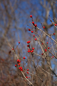 Ilex sp. - Winterberry Holly