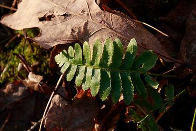 Polystichum acrostichoides- Xmas Fern