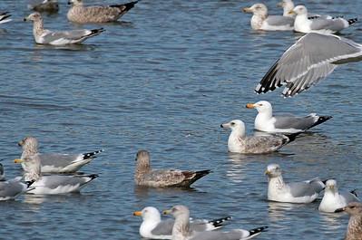 Various Herring Gulls