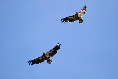 Immature Bald Eagles