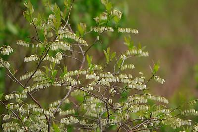 Leucothoe racemosa- Fetterbush