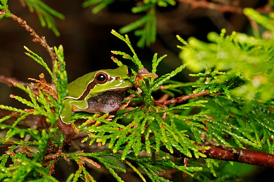 Pine Barrens Treefrog
