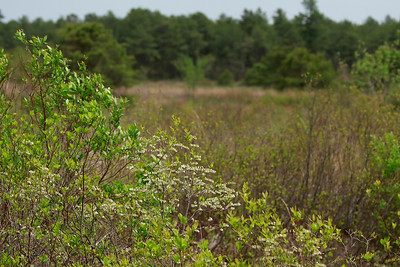 Leucothoe racemosa- Fetterbush Pine Barrens Treefrog