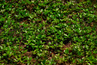 Gaultheria procumbens- Teaberry