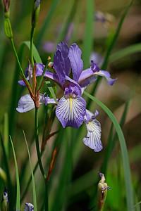 Iris versicolor- Blue Flag Iris