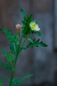 Oenothera laciniata- Cutleaf Evening Primrose