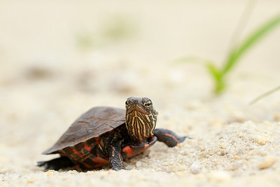 Young Eastern Painted Turtle