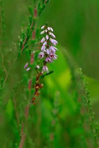 Calluna vulgaris- Heather
